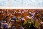 Daržovių poveikis priklauso ir nuo spalvos